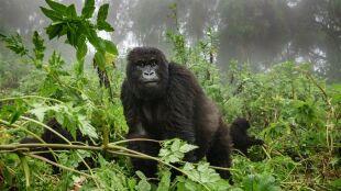 Do 2050 roku możemy stracić aż 94 procent siedlisk małp człekokształtnych