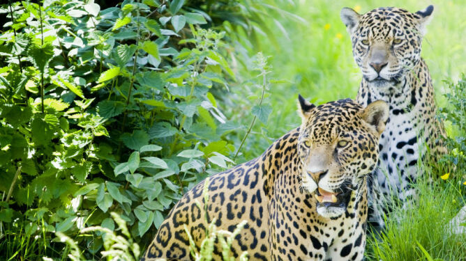 """Stworzą """"korytarze dla jaguarów"""""""