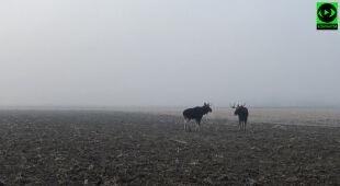Spotkanie dwóch łosi we mgle