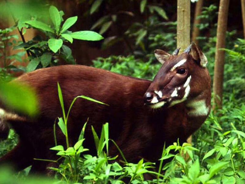 Saola wietnamska (zoo Wrocław)
