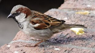 Populacja ptaków w Ameryce Północnej spadła o prawie trzy miliardy w niespełna 50 lat